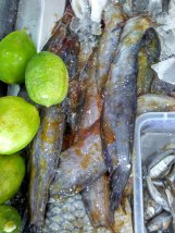 Shingi Mach / Stinging Catfish from Kolkata