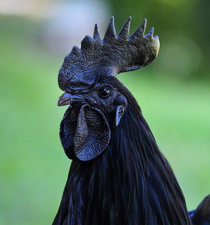 Original Kadaknath Chicken